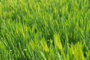grass 657264 640 300x199 1