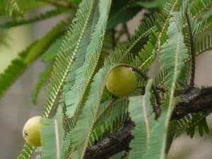 Amla (grosellero de la India